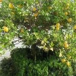 lemon tree by pool