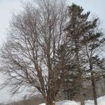 雪の桜の木