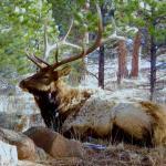 Beautiful bull elk posing for guests