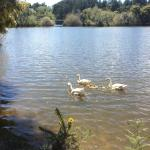 Ducklings on the lake