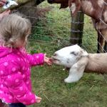 feeding the friendly goats