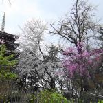 「桜」の頃