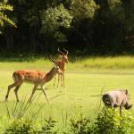 Impala and wart hogs on the golf course