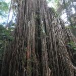 Amazing Curtain Fig Tree
