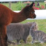 Alpaca and the cats all looking at something