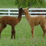 Two cria's playing