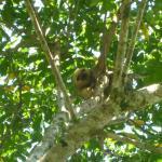 Visiting sloth