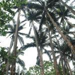 Yaeyama Palm tree