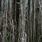 Curtain Fig near Yungaburra