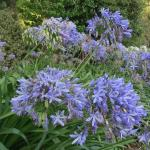 Flowers blooming in the garden - agapanthus, I think