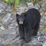 Mama bear at river's edge
