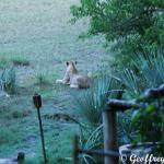 A local Lion waiting for his check in time at Little Tubu
