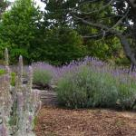 some of the many lavender bushes from the patio