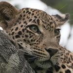 female leopard resting on tree