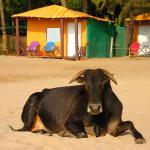Beach huts and sacred cows