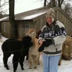Feeding the Alpacas and Llamas