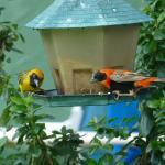 Bird feeder attracts masked weaver and red bishops