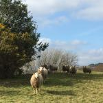 Sheep greeting us