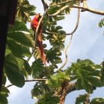 A Scarlet Macaw at breakfast