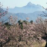 The almond trees in blossom