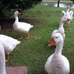 The ducks!