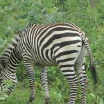 ze zebra!!