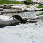 Ocean Otter running around