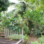 Coffee Bean Tree and other tropicals
