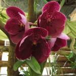 una sola increíble orquidea