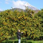 Citrus trees in our garden