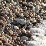 Its possible the observe Caretta Caretta sea turtles from mid July until the first weeks of Octo