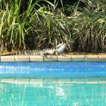 Water Dragon on pool surround