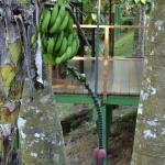 Banana pod next to our room