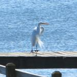 egret on dock