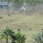 The cow field acoss the street