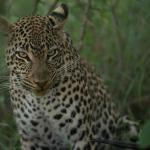 female leopard with kill