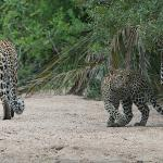female leopard with her cubs