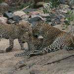 female leopard grooming her cubs