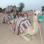 camellos para el paseo