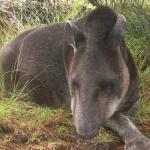 This Tapir was right next to the path. I could have stroked it.