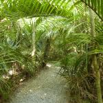 Nikau forest path