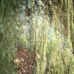 Moss on very large tree