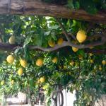 Lemon Trees on the Terrace