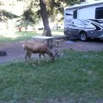 Deer browsing through the campground