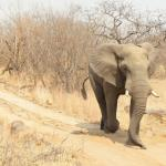 Chased by an Elephant in musth!