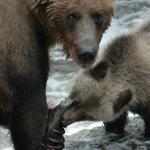 Grizzly Bear Viewing in Knight Inlet BC