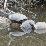 Seashore turtles