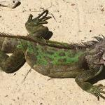 Lots of iguanas around on the beach