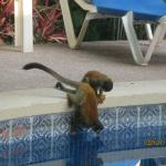 Monkeys checking out the pool