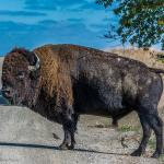 Being Bison